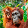Orion's Borneo expeditions – endangered wildlife, ancient temples and coral reefs