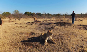 Walk with the Lions of Africa